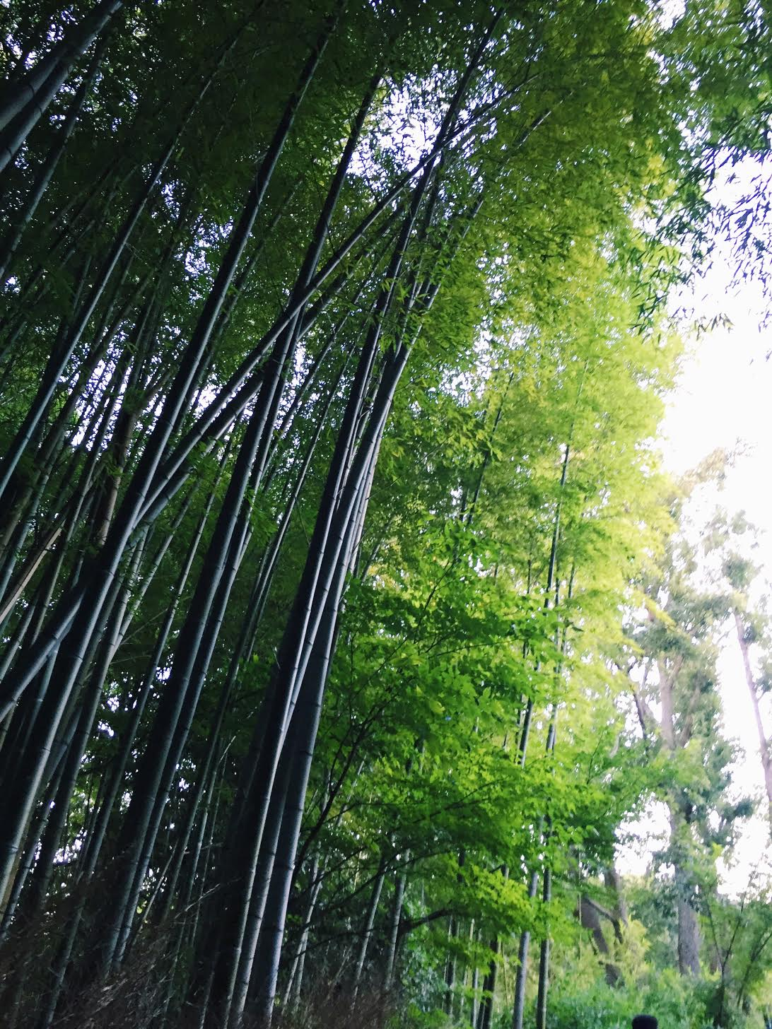 Muslim-travel-recommendations-Kyoto-tips-Bamboo-Forest.jpg