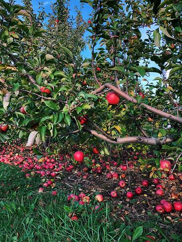 Muslim-travel-tips-New-England-apple-picking-tips
